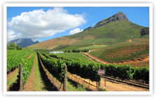 Chardonnay Growing in South Africa's Western Cape